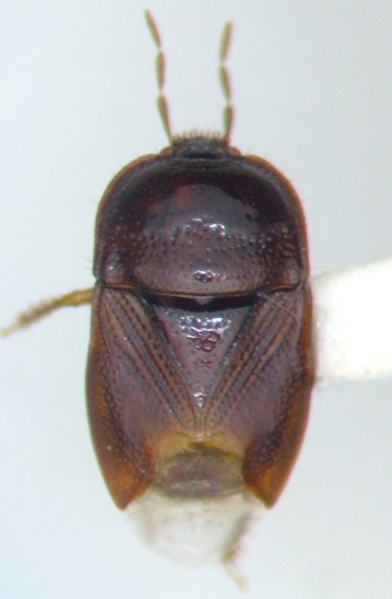 Amnestus spinifrons