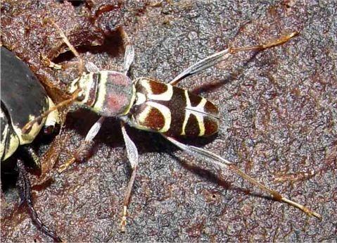 Neoclytus mucronatus vogti Linsley - Neoclytus mucronatus