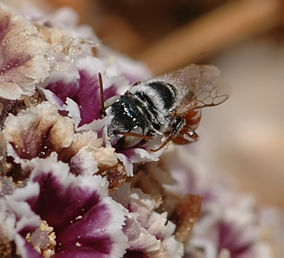 Small bee - Ashmeadiella xenomastax - male