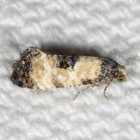 Hodges#3774 - Cochylis dubitana