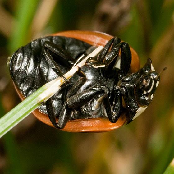 Ladybird Beetle - Coccinella septempunctata
