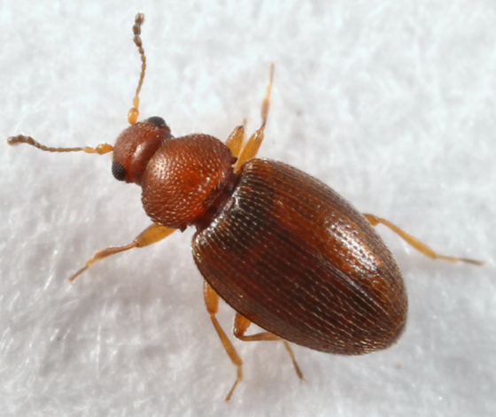 tiny brown beetle   Corticarina. tiny brown beetle   Corticarina   BugGuide Net