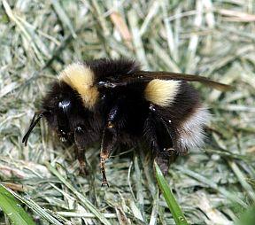 Bombus sp. - Bombus cryptarum - female