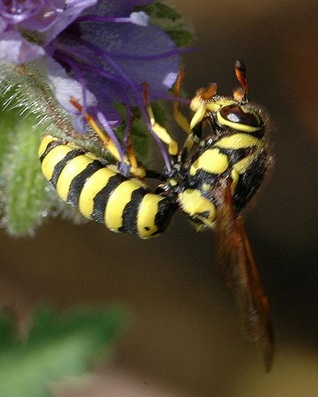 Pseudomasaris edwardsii - female