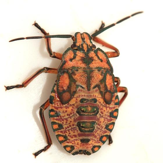 Stink Bug nymph - Apoecilus