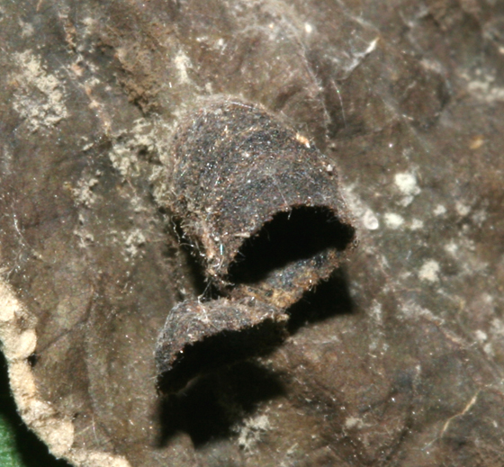 Chrysomelidae, spent case - Neochlamisus gibbosus