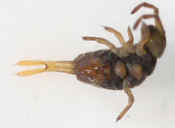 springtail - Hydroisotoma schaefferi