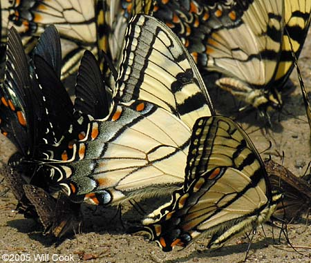 Appalachian Tiger Swallowtail - Papilio appalachiensis - male