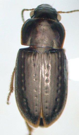 Selenophorus palliatus