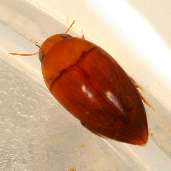 Burrowing Water Beetle - Hydrocanthus iricolor