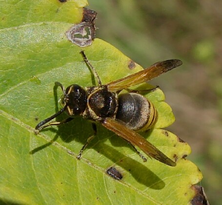 Bee? - Pachodynerus nasidens