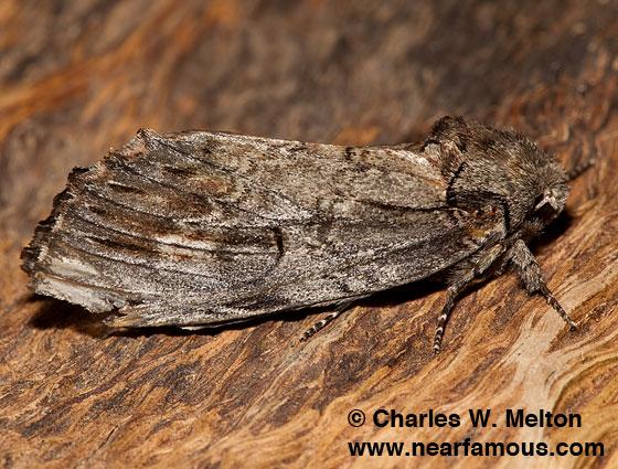 Schizura biedermani - female