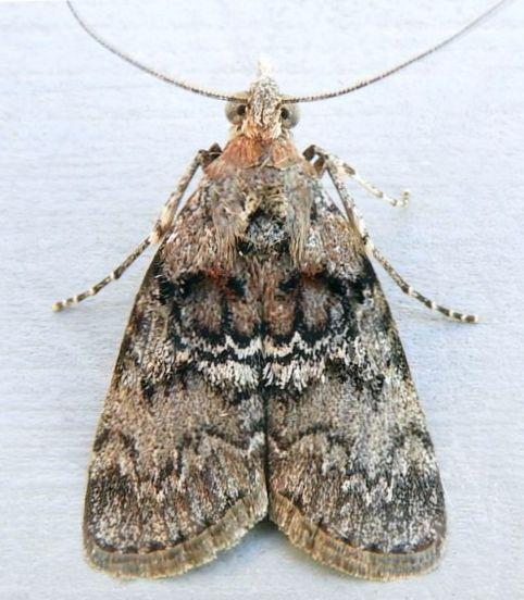 Pennsylvania Moth - Pococera expandens