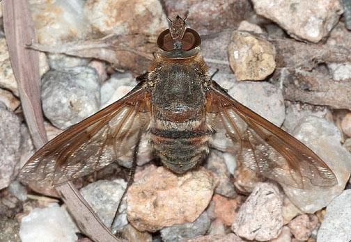 Exoprosopa pueblensis (presumably) - Exoprosopa pueblensis