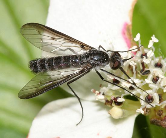 Bee Fly? - Thevenetimyia funesta - female