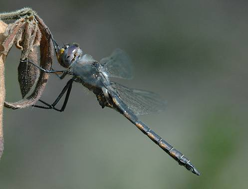 Dot-winged Baskettail, lateral view - Epitheca petechialis - male