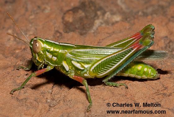 Snakeweed Grasshopper - Hesperotettix viridis - female