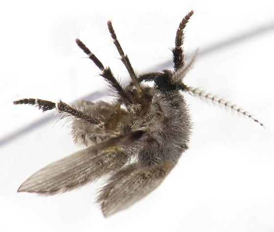 Moth Fly #2 - Clogmia albipunctata