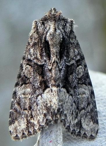 Platypolia mactata  - Platypolia mactata