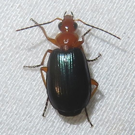 Beetle - Lebia
