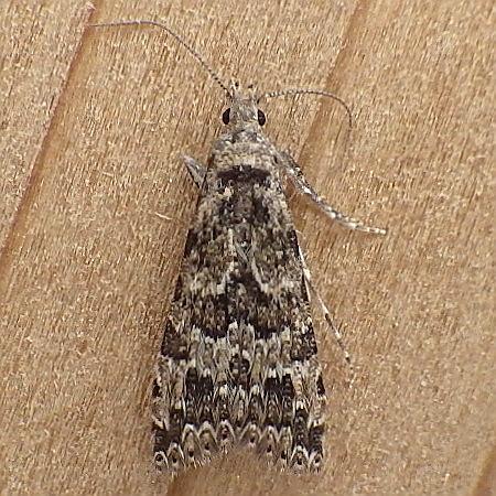 Alucitidae: Alucita montana - Alucita montana