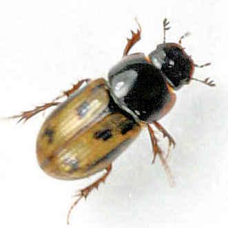 Scarabaeidae - Aphodius? - Aphodius distinctus