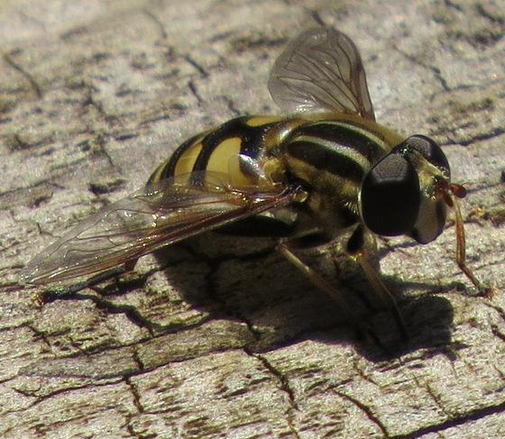 Syrphid fly - Helophilus fasciatus