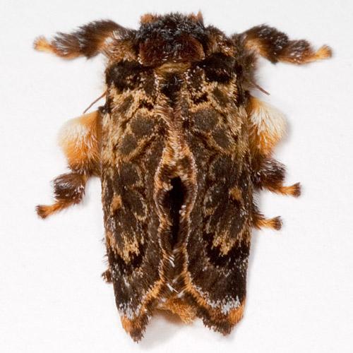 Phobetron pithecium - Hag Moth - Phobetron pithecium