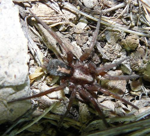 Parson Spider - Herpyllus propinquus
