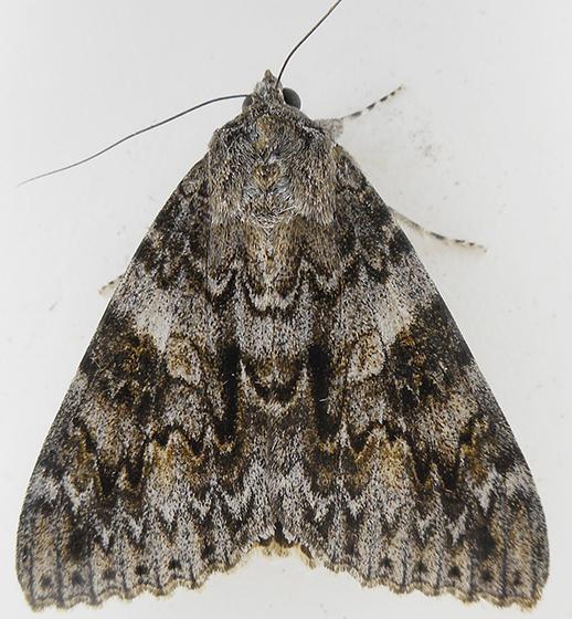 Moth - Catocala irene