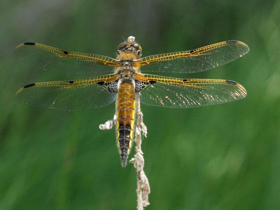 Libellulidae? - Libellula quadrimaculata