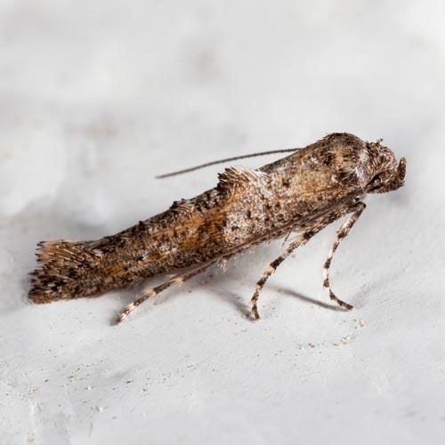 Epermenia albapunctella