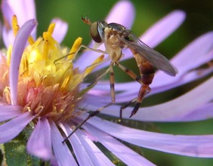 Empis? - Stylogaster biannulata - female