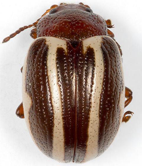 Leaf Beetle - Calligrapha bidenticola