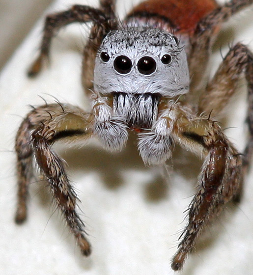 What Jumping Spider is This?? - Habronattus decorus - male