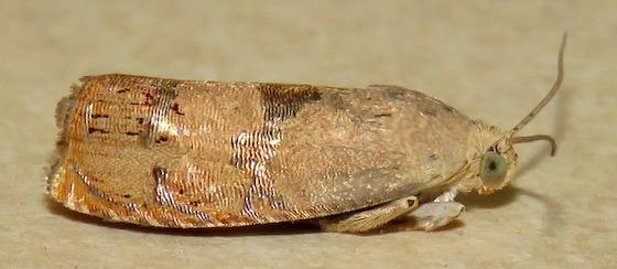 Filbertworm Moth - Hodges#3494 - Cydia latiferreana