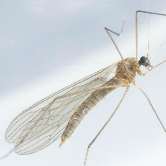 Crane Fly - Trichocera