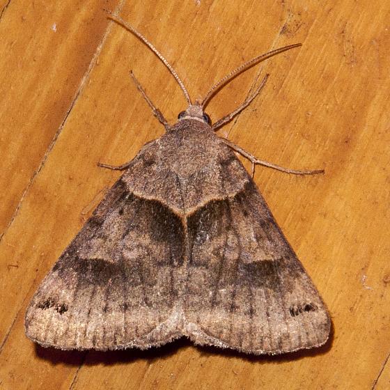 Moth 807-02 - Caenurgina crassiuscula
