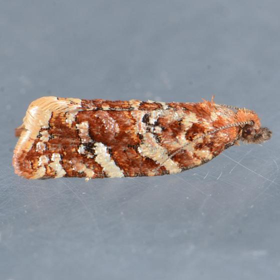 3610  - Argyrotaenia niscana