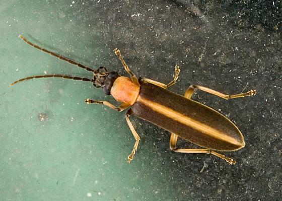false blister beetle - Oxycopis mimetica - BugGuide Net