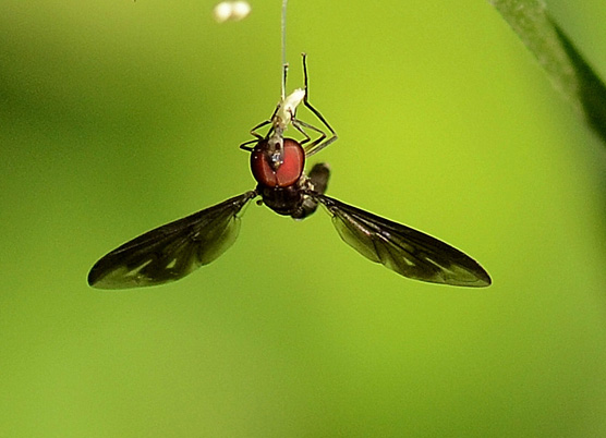 Ocyptamus fuscipennis