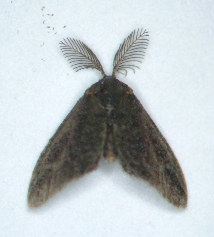 Little brown moth - Fulgoraecia exigua - male