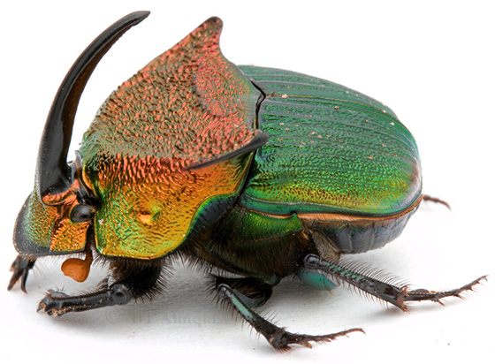 Phanaeus vindex from Tall Timbers - Phanaeus vindex - male