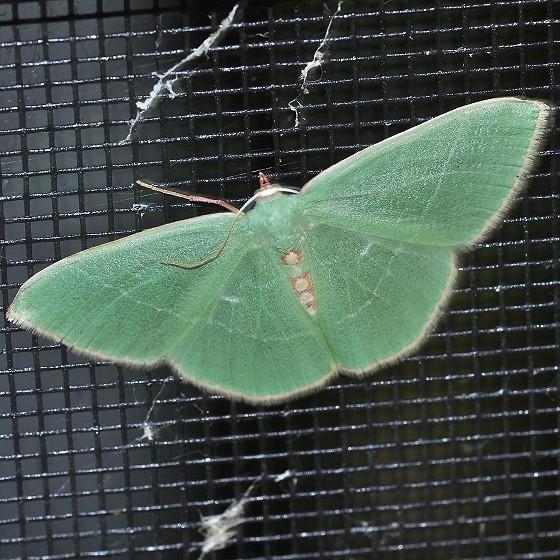Moth - Nemoria glaucomarginaria