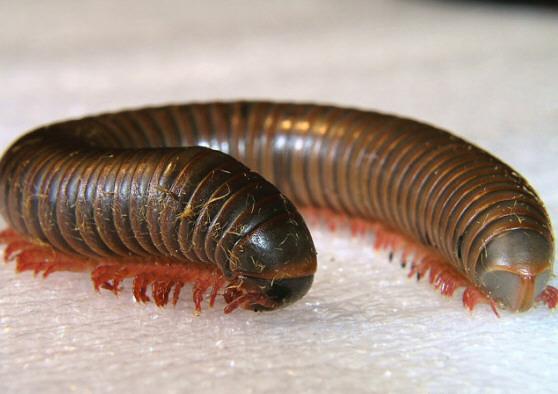 American Giant Millipede (Narceus americanus) - Narceus americanus-annularis-complex - male