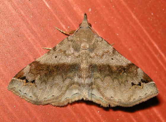six-spotted gray (Spargaloma sexpunctata) - Spargaloma sexpunctata