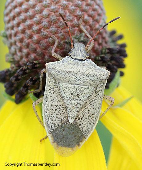 Stink Bug - Euschistus
