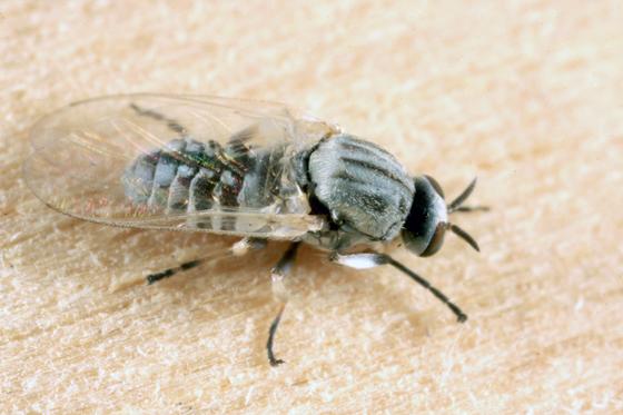 Fly - Simulium - female