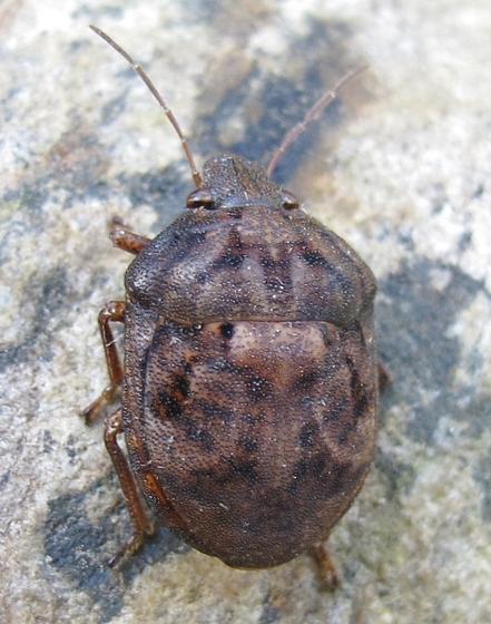 Must be a stinkbug - Tetyra bipunctata