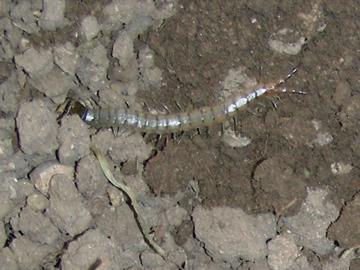 Large Centipede - Scolopendra viridis